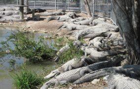 krokodilu ferma 2