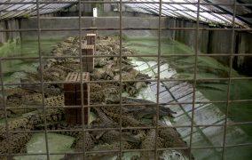 krokodilu ferma