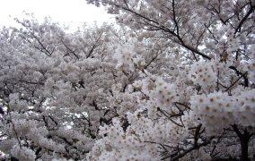 Sakuru ziedai