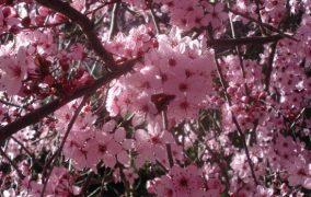 slyvu ziedai