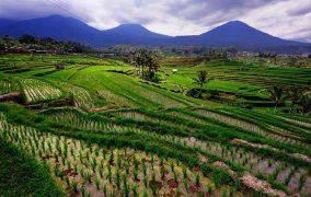 Bali ryziu laukai