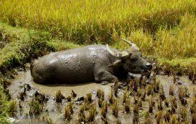 Vietnamo buivolas